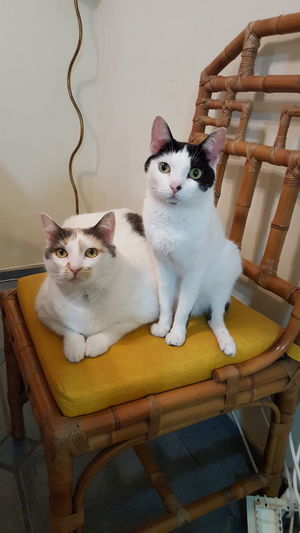 High Angle View Portrait Of Cats Sitting On Chair At Home
