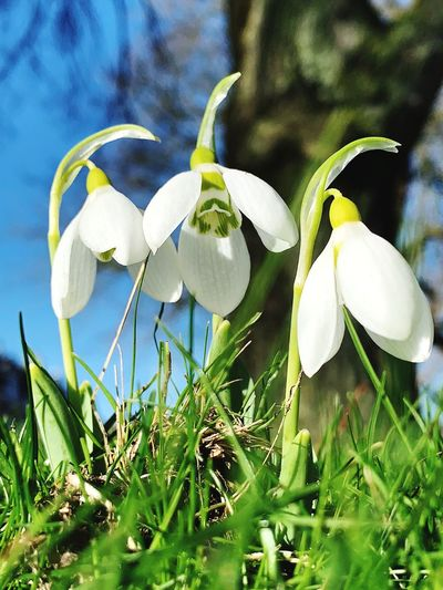 Plant Flowering Plant Flower Growth Beauty In Nature Petal Fragility Snowdrop Freshness Vulnerability  Close-up Green Color Inflorescence White Color Flower Head Nature Day No People Land Field Outdoors Springtime