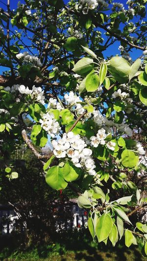 pears in bloom Pear Blossom Tree Leaf Close-up Green Color Plant Life Stem Bud Softness In Bloom Blooming Flower Head Petal Branch Blossom