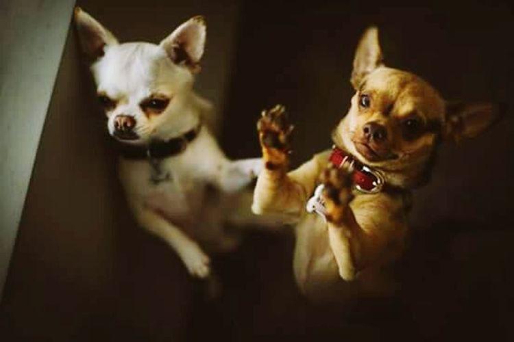 Bb'sTime Chihuahua Love ♥ Bianca 💜💜 Yuraq 💙 💙