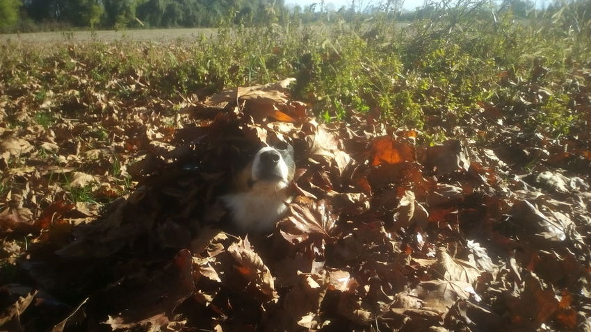 Some camouflage in Rambo Style EnjaTheNinja Bordercollie  Crazy Dog Camouflage Nature Autumn Fall Autumncolours Outdoors Nopeople Fun Leaves River Meduna Walk Dailywalk Border Collie Domestic Animals Dogs Day Dogslife Dog❤ Dogs Of EyeEm