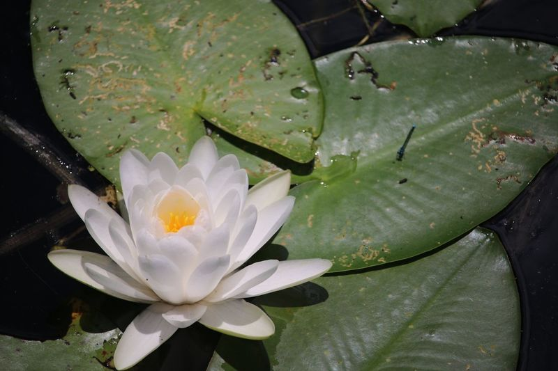 Water Lilly 2