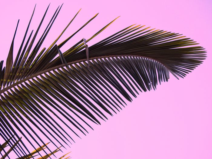 Pink Color No People Purple Close-up Palm Palm Tree Palm Leaf Leaf Clear Sky Outdoors Sky Day The Week On EyeEm Cairns Australia Nature Tropical Tropical Climate Tropics Summer Holiday Been There. Done That. Fresh on Market 2017 Perspectives On Nature EyeEm Ready   Summer Exploratorium Visual Creativity