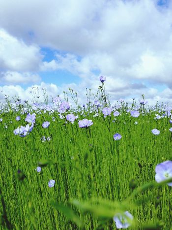Flower Nature Beauty In Nature Growth Fragility Freshness Field Grass Sky Plant Cloud - Sky No People Petal Tranquility Green Color field of flax dDayauUncultivatedos Normandie