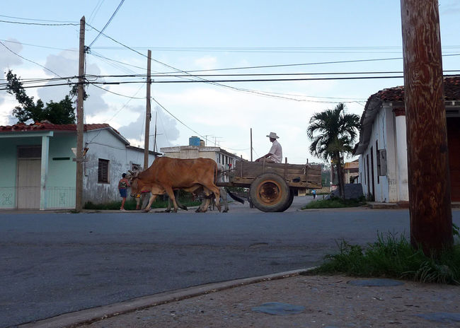 Cattle pulling a cart down a street in Vinales, Cuba Animal Themes Cart Cattle Cow Cuba Domestic Animals Mammal Old Ways Outdoors Sky Transportation Viñales