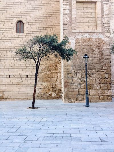 Olive tree on the street of Palma EyeEmNewHere Olive Tree Architecture Brick Wall Building Exterior City Day Different Latern Lonsome No People Streetphotography