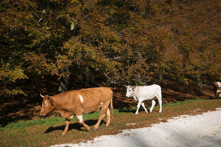 Two cows walking in the autumn forest Cows Cattle Livestock Autumn Animal Themes Mammal Animal Domestic Animals Group Of Animals Animal Wildlife Outdoors Herbivorous Nature Two Animals Autumn colors Landscape Forest Woods Farm Rural Agriculture Umbria No People Plant Land Vertebrate