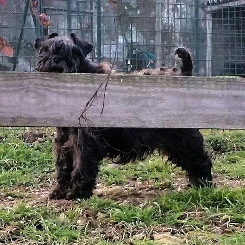 Abby Schnauzer Nano Nero cane dog passeggiata franciacorta italy