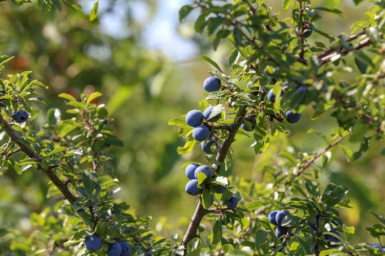 Blue berries of