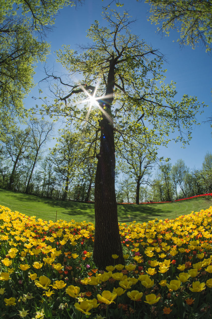 plant, tree, flower, beauty in nature, yellow, flowering plant, growth, nature, freshness, sunlight, sky, tranquility, day, tree trunk, no people, park, land, trunk, outdoors, fragility, springtime, flowerbed