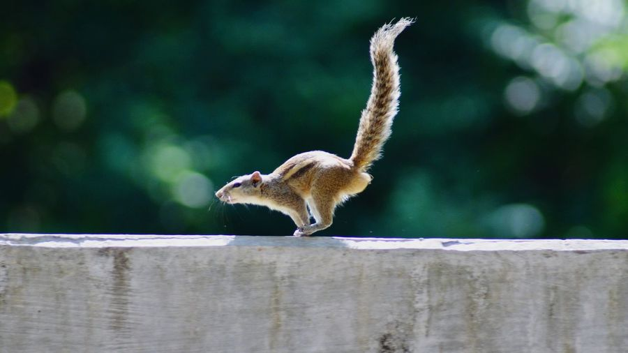 Squirrel running on high speed