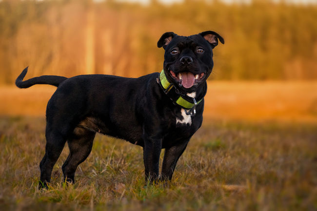 Staffordshire Animal Themes Black Color Black Labrador Day Dog Domestic Animals Field Grass Mammal Nature No People One Animal Outdoors Pets Portrait Staffordshire Bull Terrier Staffy