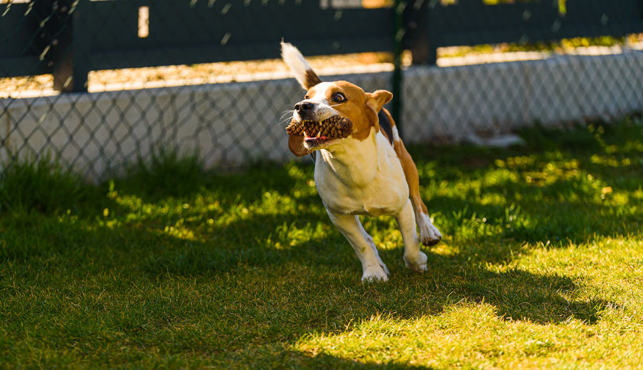 Dog having fun in the backyard. canine background outdoors.