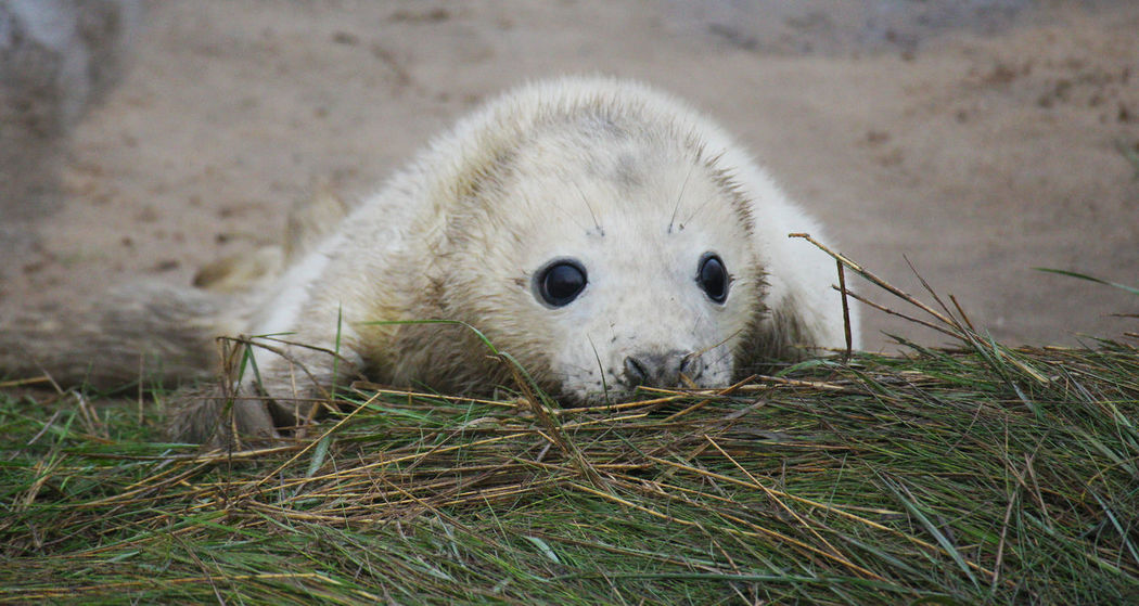 Tired Observing Curious Hide And Seek Baby Seal White Donna Nook Animal Themes Animal Wildlife Animals In The Wild Apprehensive Baby Close-up Cute Day Eyes Grass Looking At Camera Mammal Nature No People Nosey One Animal Outdoors Portrait Seal