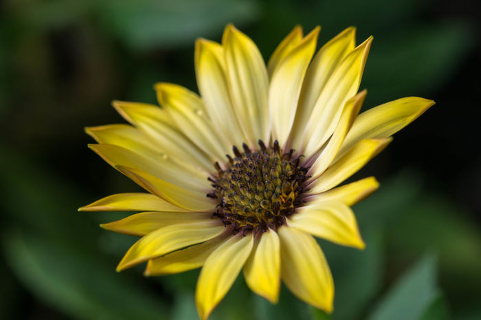 Close-up photo of yellow daisy. Daisy Daisy Flower Daisy 🌼 Yellow Daisy Beauty In Nature Close-up Daisy Close Up Daisy Close-up Daisy Closed Up Day Flower Flower Head Focus On Foreground Fragility Freshness Gazania Growth Nature No People Outdoors Petal Plant Pollen Springtime Yellow