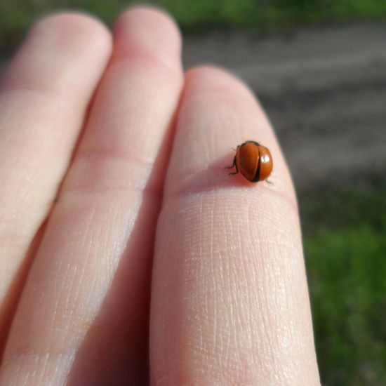 Close-up of ladybug on human hand