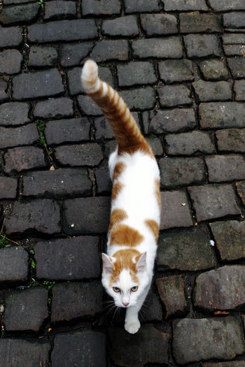 High angle portrait of cat standing on brick wall