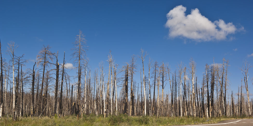 The burned remains of Pine Trees on the north rim of Arizona's Grand Canyon from a forest fire back in 2010. Arizona Grand Canyon National Park Bare Tree Burned Area Burned Out Forest Burned Out Land Day Devastion Forest Landscape Nature No People Outdoors Sky Tree