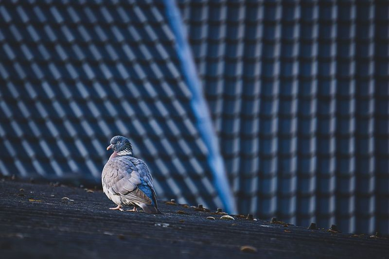 stalker 🤨 My Best Photo EyeEm Nature Lover EyeEm Best Shots EyeEm Selects EyeEm Gallery EyeEm Selects Animal Wildlife Animal Themes Animal Vertebrate Animals In The Wild Bird One Animal No People Day Pattern Blue Perching Nature Wood - Material Pigeon Outdoors Architecture Metal Low Angle View