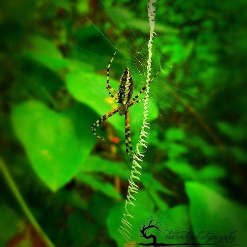 Blackandyellow Argiope Creepycrawly Arachnid