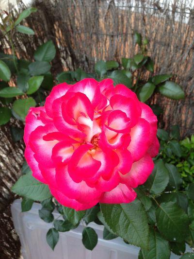 """La rose """"Léo Ferré"""" Rose🌹 Roses Fleurs Flowers Flower Flowers,Plants & Garden Garden Beautiful Beautiful Flowers French"""