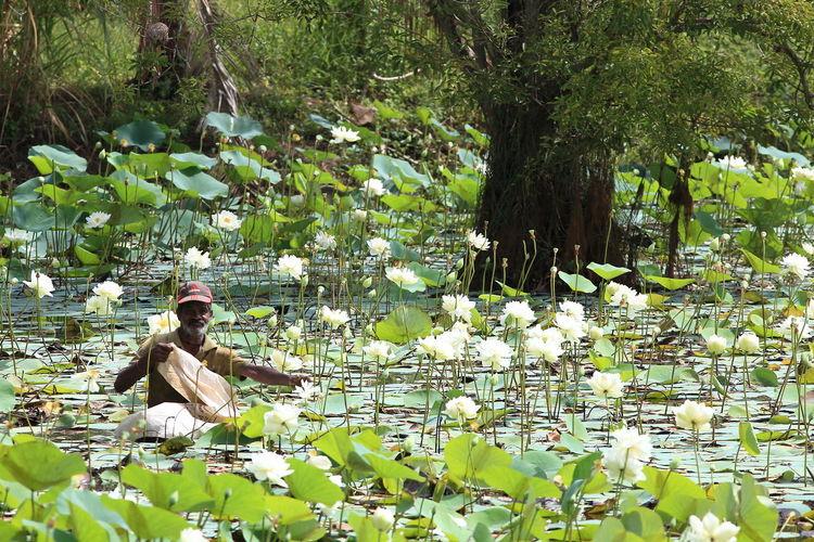Blossom Botanical Garden Fragility Freshness Garden Eden Green Color In Bloom Lotus Water Lily Springtime Sri Lanka Tourist Destination Tranquility Water Lily Water Lily Picker Water Reservoir Sri Lanka