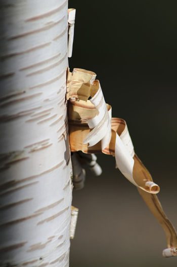 écorce de bouleau Bark Barks Of A Tree Birch Bark Birch Tree Paper Silver Bark White Color