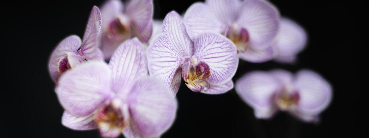 Black Background Orchid Pink Plant Soft Light Cascade Flowers Macro Megapixel Plants And Flowers Soft Focus