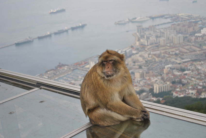 Barbary macaque (Macaca sylvanus) Africa Animal Themes Animal Wildlife Animals In The Wild Architecture Barbary Macaque City Cityscape Day Endangered Species Endemic Gibraltar Gibraltar Rock Macaque Maggot Mammal Mammals Monkey Monkeys Nature No People One Animal Outdoors Water Wildlife