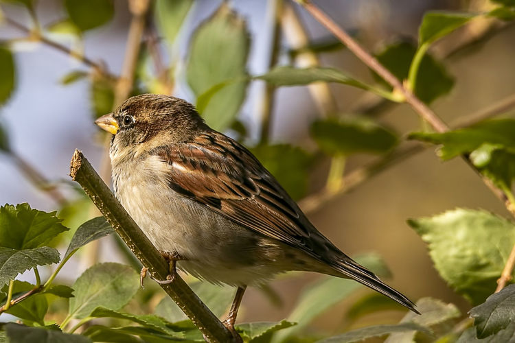 Animal Themes Animal One Animal Animal Wildlife Animals In The Wild Bird Perching Sparrow Nature Beauty In Nature Outdoors House Sparrow Passer Doesticus Wldlife Ornithology  Avian Fauna Feathers