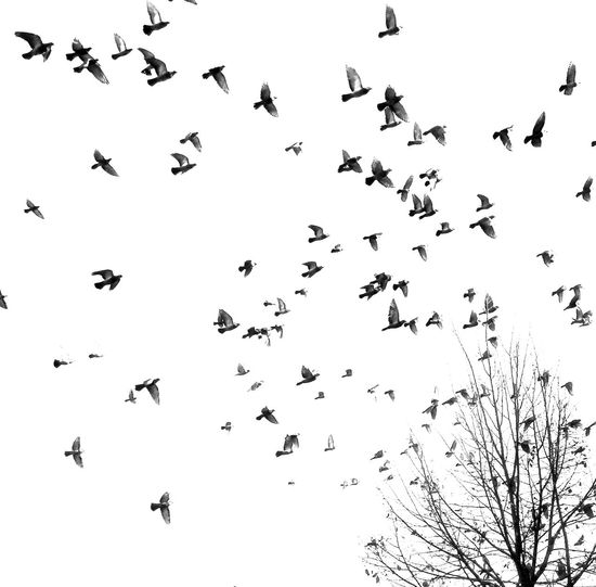 Animal Behavior Animal Themes Animal Wildlife Animals In The Wild Bird Birds Birds In Flight Black And White Blackandwhite Chaos Day Drawing Filter Flight Flock Of Birds Flying Freedom Large Group Of Animals Migrating Nature No People Outdoors Sky Tree