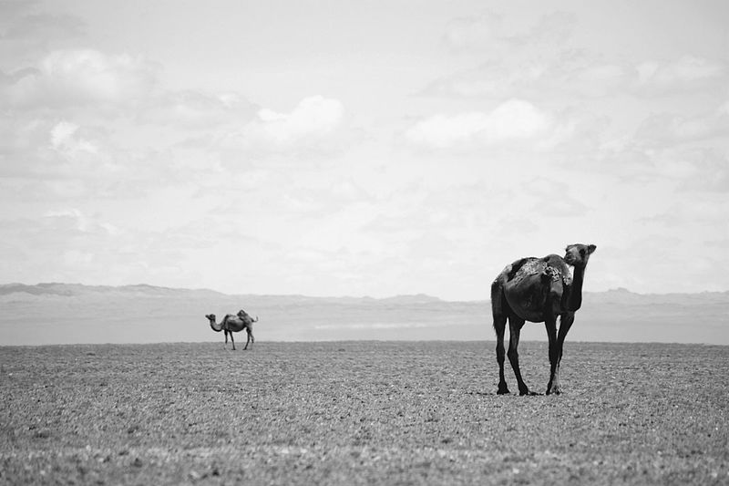 Gobi Desert Mongolia Animal Animal Themes Animal Wildlife Arid Climate Black And White Camel Cloud - Sky Day Domestic Animals Environment Herbivorous Land Landscape Mammal Nature No People Outdoors Sky Говь- Монгол улс