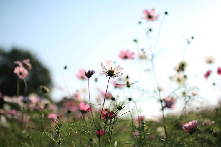 Flower Nature Plant Fragility Flower Head Pink Color Beauty In Nature Petal No People Cosmos Flower