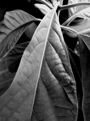 Indoor Photography series: Avocado's leaves in black and white Black And White Photography Avocado Plant Close-up No People Indoors  Textile Clothing Full Frame Still Life Backgrounds Pattern Textured  Auto Post Production Filter Day Detail High Angle View