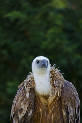 Close-up of vulture looking away