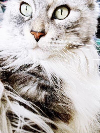 Lange nichts mehr hochgeladen, in einem Monat gibt's dafür umso mehr Bilder von dem wunderschönen Lissabon ❤️ Kitty Greeneyes Gimmetheevillook Mainecoon
