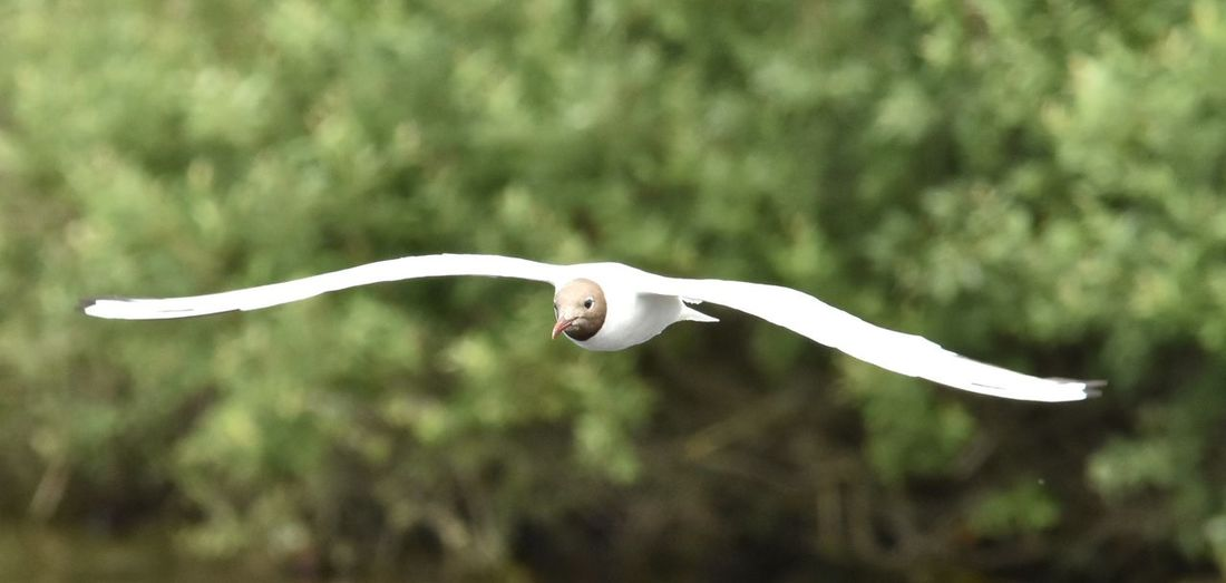 Close-Up Of Black-Headed Gull Flying Outdoors