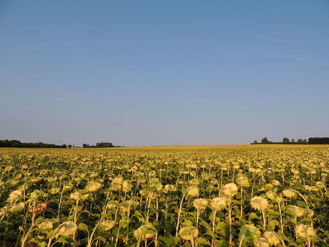 Touraine Loire Sky Growth Plant Nature No People Outdoors Field Landscape Agriculture Rural Scene Land Clear Sky Copy Space Environment Beauty In Nature Scenics - Nature Tranquil Scene Farm Crop  Tranquility Day Yellow Plantation