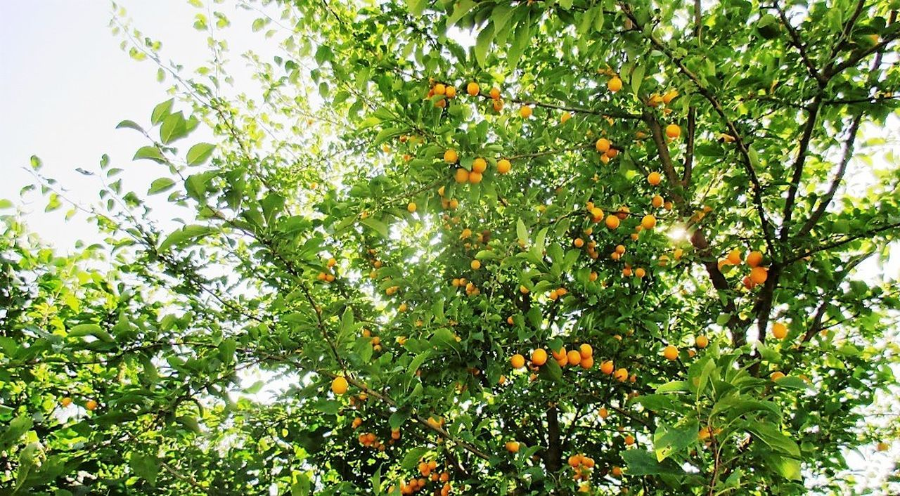fruit, tree, green color, growth, food and drink, nature, healthy eating, freshness, leaf, low angle view, food, orange tree, day, outdoors, no people, citrus fruit, agriculture, beauty in nature, branch, close-up