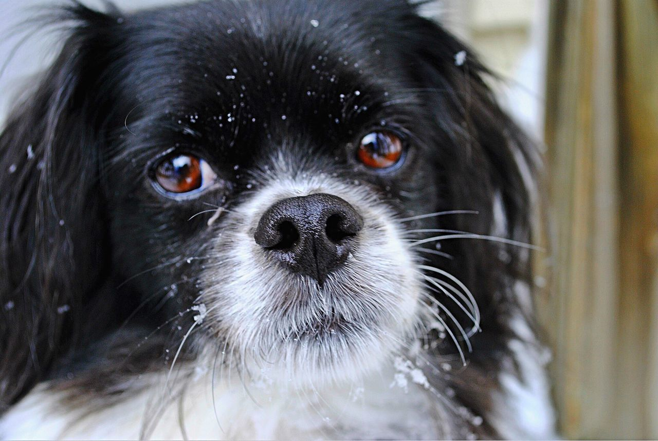 dog, pets, animal themes, mammal, domestic animals, one animal, black color, close-up, no people, indoors, portrait, looking at camera, day