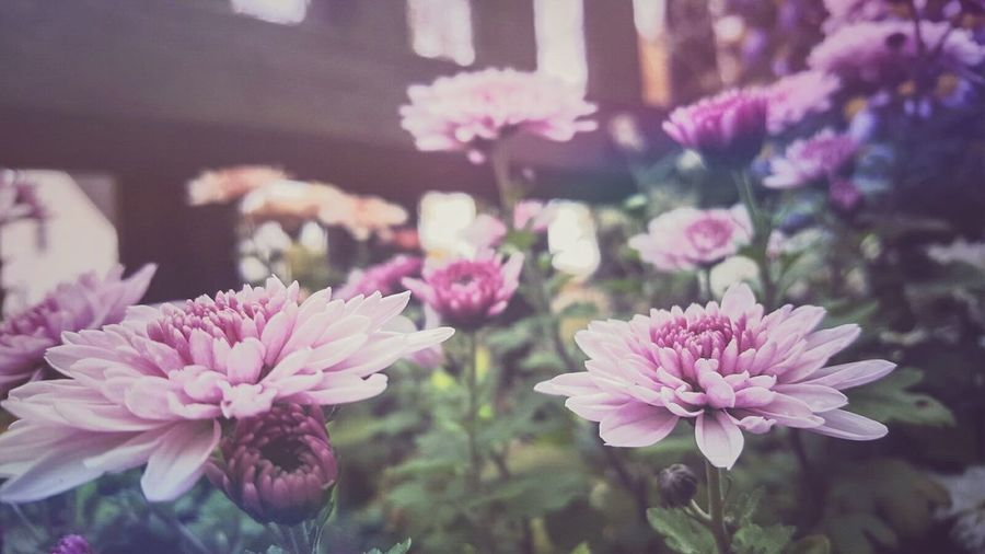 Pink Flowers Flower Memories Nature I Miss You Summer No People Flower Head Fragility Freshness Pink Color