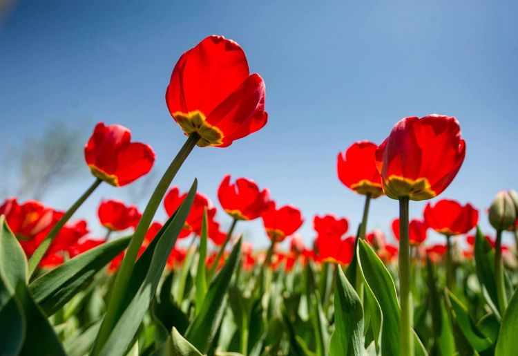 Red tulip. Flower Red Freshness No People Beauty In Nature Outdoors