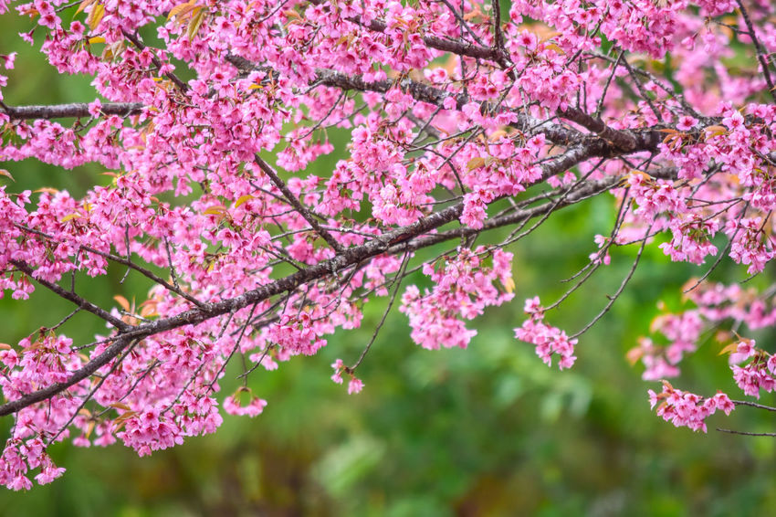 Cherry Blossoms Chiang Mai | Thailand Japan Pink Sakura Wild Himalayan Cherry Beauty In Nature Blooming Blossom Botany Branch Close-up Flower Flower Head Fragility Freshness Growth Nature Outdoors Petal Pink Color Springtime Sweet Tree Twig