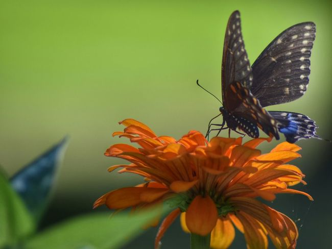 Probably my favorite butterfly picture! I love the blue tip it has! Insect Close-up Butterfly - Insect Beauty In Nature No People Outdoors Lens Blur Pollination Flower Peace And Quiet Digital Photography Garden Nikonphotography D5500 Wildlife Photography Staten Island New York Summertime Fitz's Photos Fragility Bugs Of EyeEm Blue One Animal Nature Animals In The Wild