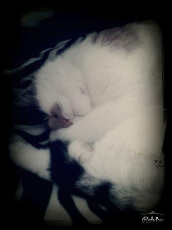 Love Animal Kittycat