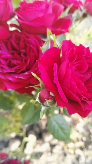 Rose🌹 Red Rose Flower
