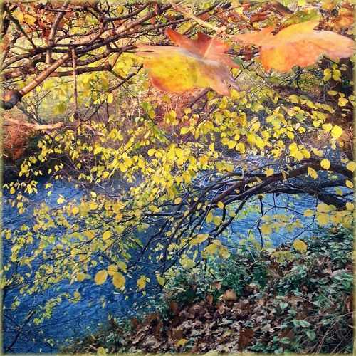 Autumnal leaves on tree
