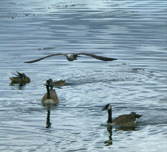 Walking Around The Lakes Chewvalleylake Nature Nature On Your Doorstep Summer Memories 🌄 Canadian Geese Sea Gull