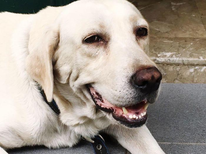 Hey love 🐶 #Labrador One Animal Animal Themes Pets Canine Domestic Domestic Animals