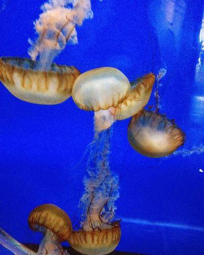 Jelly fish @ Shedd Aquarium, Chicago. Worth spending time! Shedd Aquarium Aqua Fish Jelly Jellyfish Chicago Chicagosightseeing Chicagosightings Sheddaquarium Sheddaquariumchicago Sheddaquariam Chicagosheddaquarium Nexus5